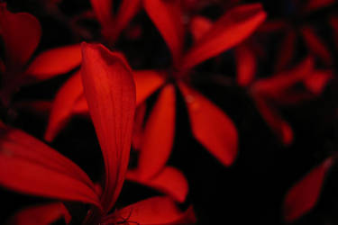 Deep Red by ausrejurke