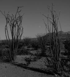 Moon and Ocotillo by SharPhotography