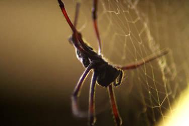 Spider's Web by LaCaroratcha