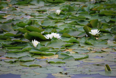 Bed of Water Lillies by UncleMonkey777