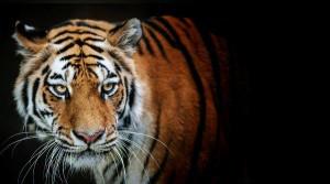Tiger-Chan77's Profile Picture