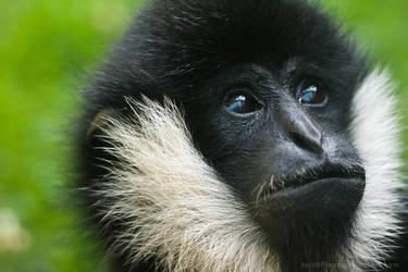 White-cheeked Gibbon July 200 by mindPlant