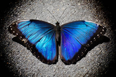 Blue Morpho by Kendra-Paige
