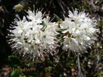 Labrador Tea Flowers 01 by Moradin99