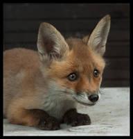Foxy by Skia