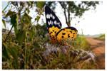 Butterfly 83 by kiew1