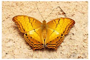 Butterfly 104 (Cruiser) by kiew1