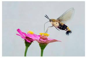 Hummingbird Moth by kiew1