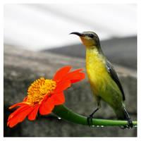 Sunbird by kiew1