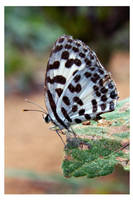 Butterfly 112 (Common Pierrot) by kiew1