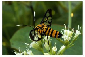 Amata moth by kiew1