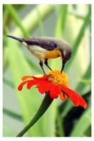 Sunbird and flower 2 by kiew1