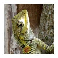 Crested lizard (3) by kiew1