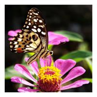 Butterfly 129 (Lime Butterfly) by kiew1