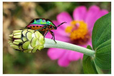 Shield bug (2) by kiew1