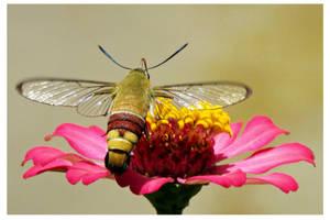 Hummingbird Moth (9) by kiew1