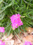 Little Chive Flower III by rainrivermusic