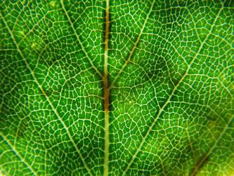 Birch Leave by lioncat