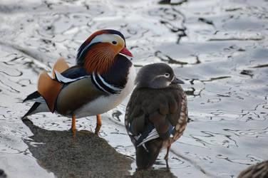 Mandarin duck II - Stock by GhostOfCanada