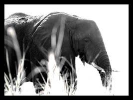 Chiaroscuro Elephant by Ubhejane