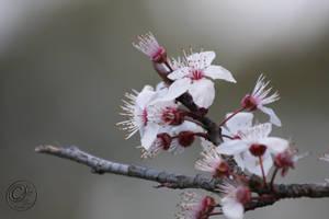 spring blossom by jakwak