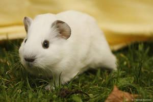 Guinea pig by Bastlwastl84