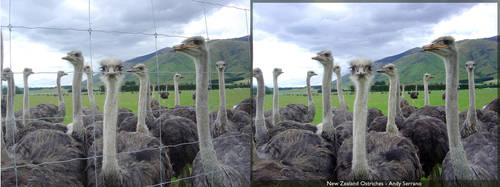 Ostriches - Before and After by AndySerrano