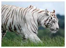 White Tiger 3 by WeAreAwake