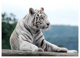 White Tiger 5 by WeAreAwake