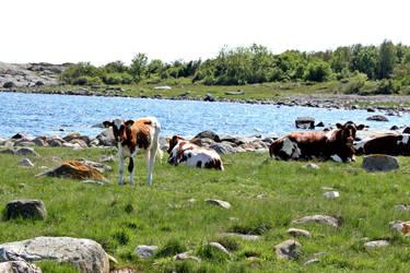 cows by EliSsHka