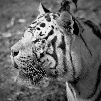 Animal Portraits Tiger 002 by Rice3