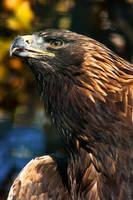 Golden Eagle by darkSoul4Life