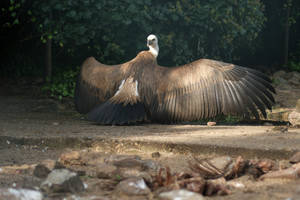 Griffon Vulture by AllAboutBirds