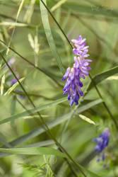 Predominantly Purple by Zanarky