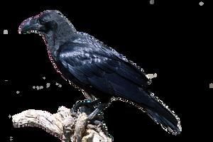 cuervo png by eross-666