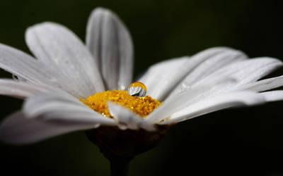 Daisy by Kryna98
