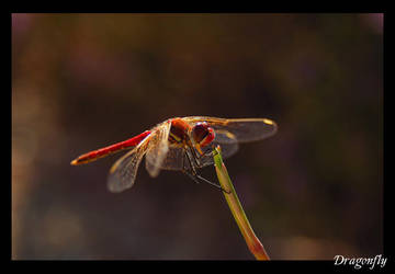 Dragonfly by Just-Johnny