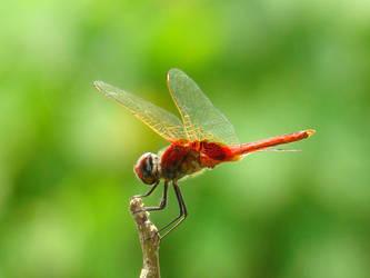 Dragon Fly by sdas000