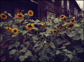 City Sunflowers by MissLumikki