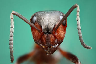 Ant by petrwolf