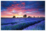 Lavender by SebastianKraus