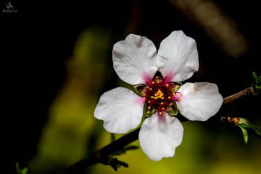 Almond flower by VitoDesArts