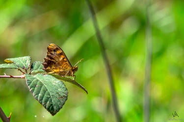 Leaf me alone - Butterfly Pararge aegeria by VitoDesArts