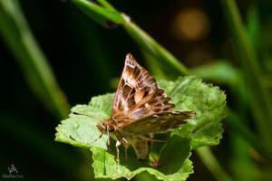 Hesperiidae... Pyrginae maybe? by VitoDesArts