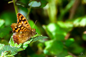 Butterfly Pararge aegeria by VitoDesArts