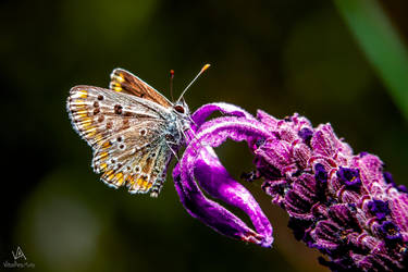 Butterfly Aricia Cramera under the flash by VitoDesArts
