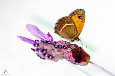 Butterfly Pyronia Bathseba #2 by VitoDesArts