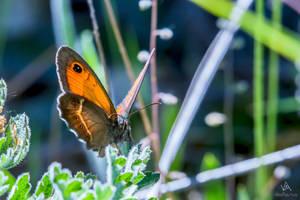 Butterfly Pyronia Bathseba #3 by VitoDesArts