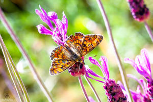Butterfly Melitaea Phoebe #2 by VitoDesArts