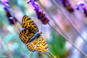Butterfly Melitaea Phoebe #1 by VitoDesArts